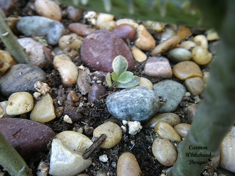Cactus propagation from cuttings by Carmen Whitehead Designs