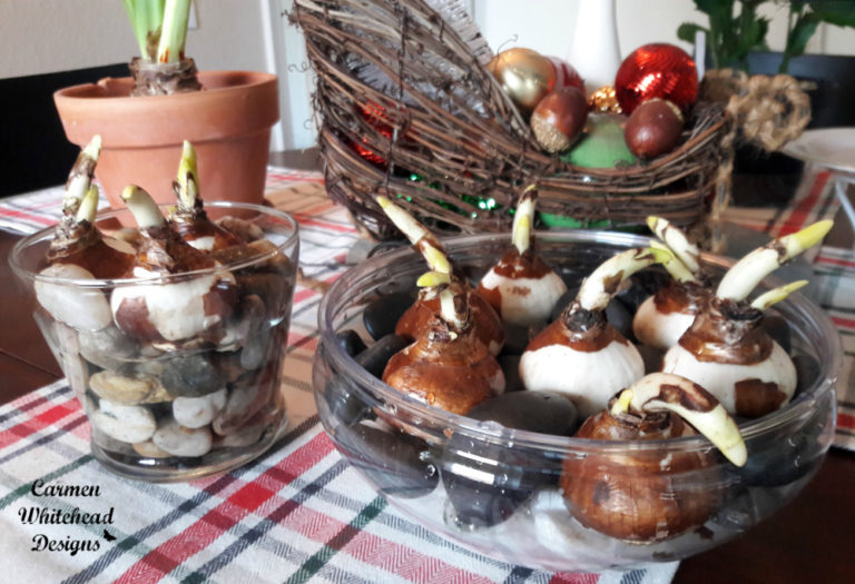 Growing Paper Whites Bulbs by Carmen Whitehead Designs