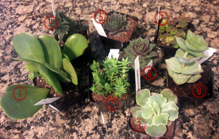 How to create a succulent dish garden using Mountain Crest Gardens succulents and thrift store items.