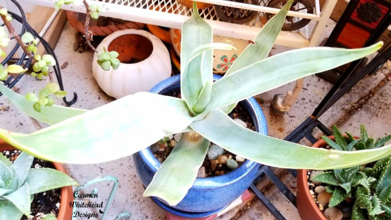 Aloe Collection - Care and Tips : Carmen Whitehead