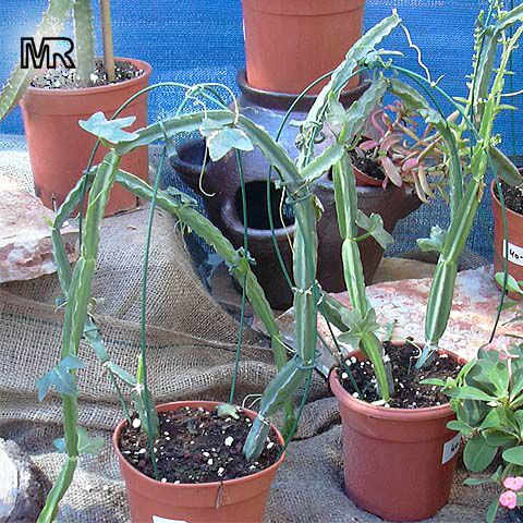 Epiphytic Cactus Care and Tips - Carmen Whitehead