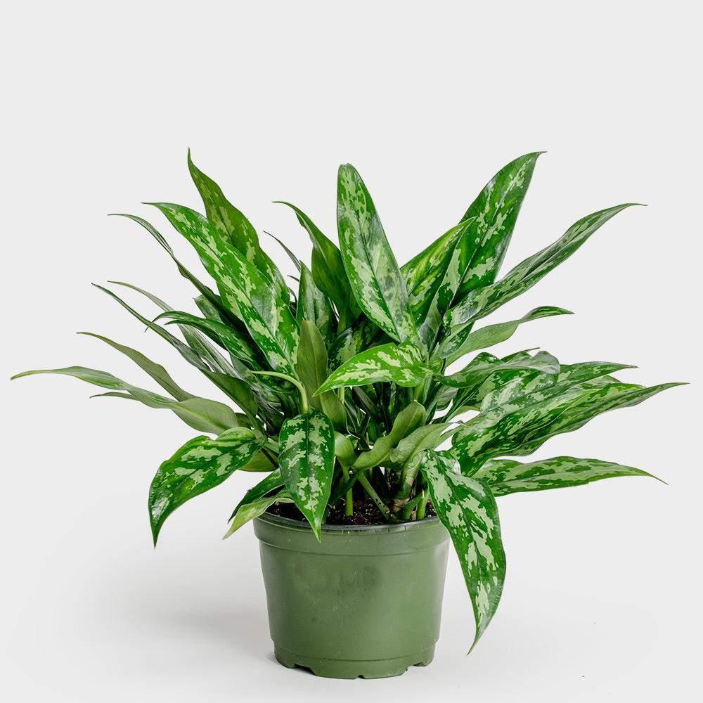Aglaonema Maria - Best Houseplants for Beginners by Carmen Whitehead