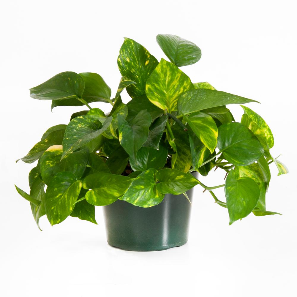 Golden Pothos - Best plants for beginners by Carmen Whitehead