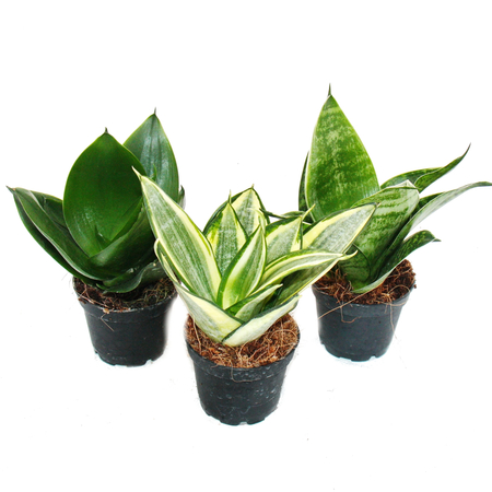 Sansevieria Hahnii Birds Nest - Best Houseplants for Beginners