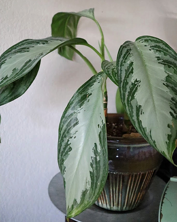Aglaonema (Chinese Evergreen) Care and Maintenance