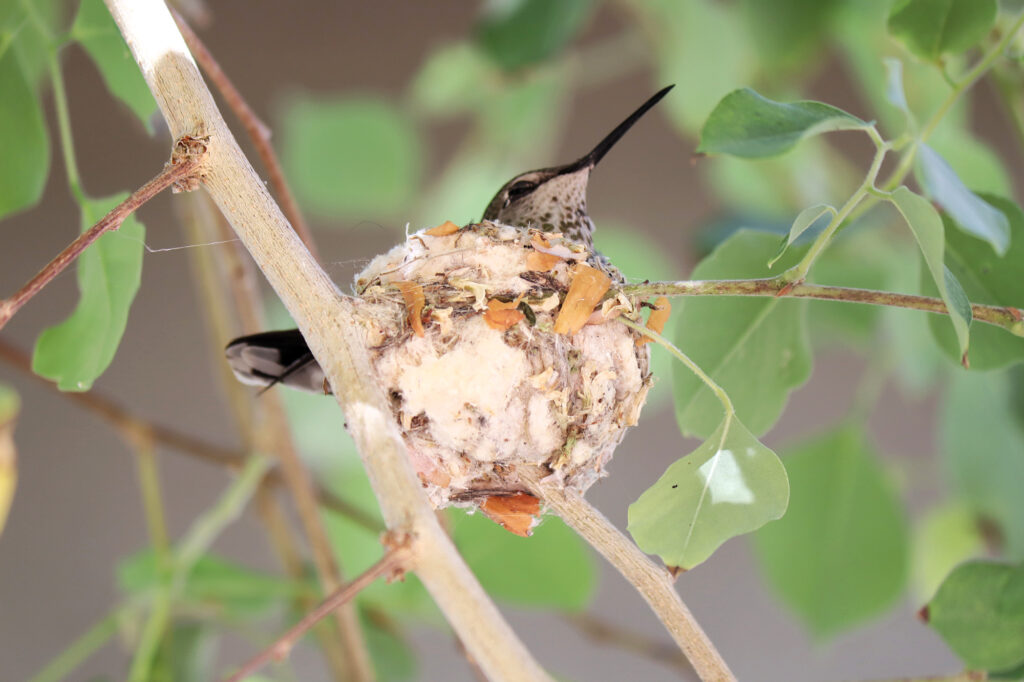 Hummingbird nesting in tree. captured by Carmen Whitehead with Canon M50, 55-250 lens